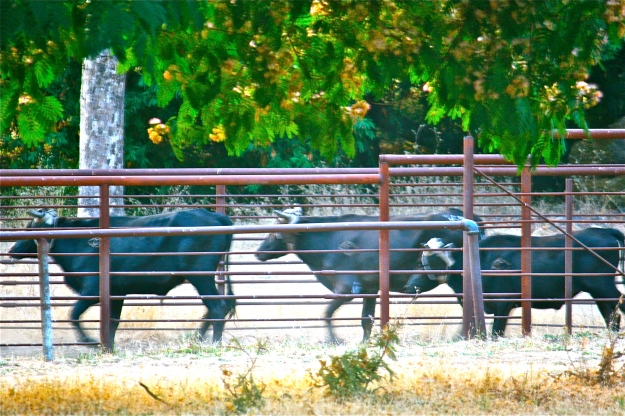 Steers being run into the chute