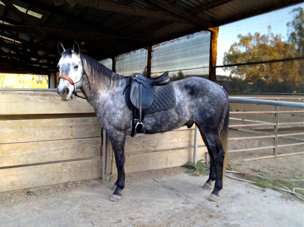 Ace, un-humiliated by dressage saddle