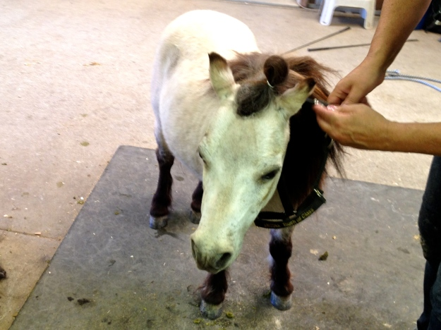 So adorable.  A teeny tiny buckskin.  With manners!